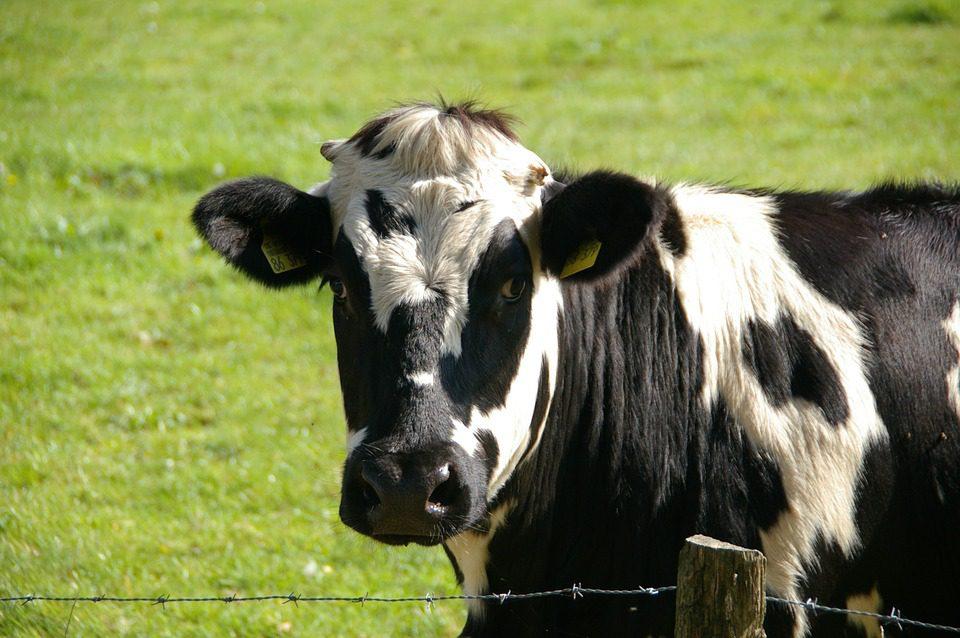 Novos estudos sugerem que um dos efeitos da mudança no clima será a redução na qualidade da pastagem e impactos negativos na pecuária.