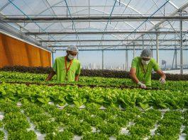 produção de verduras no alto de prédio do ifood - divulgação